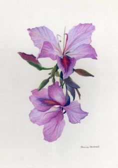 flower, orchid, colored pencil drawing of light purple blooms