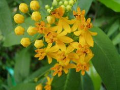 Asclepias Curassavica Silky Gold Milkweed 100 Seeds   eBay