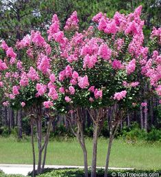 Crape myrtle is the smaller version of Lagerstroemia speciosa, commonly known as Pride of India or Queen crape myrtle. Description from vrikshanurseries.blogspot.com. I searched for this on bing.com/images