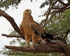 Tawny eagle, South Africa