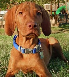 Vizsla--can't wait for ours to be born! :)