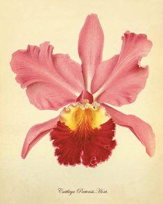 Pink vintage orchid Botanical Art Prints Victorian art Garden Wall Art Vintage prints antique prints flower art print 8 x10 art print via Etsy