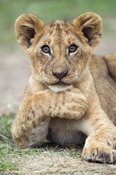 A beautiful brown-eyed lion cub in Masai Mara, Kenya, rests one paw under her chin while sitting on . Lion And Lioness, Lion Cub, Cute Baby Animals, Funny Animals, Wild Animals, Prague Zoo, Detroit Zoo, Cute Lion, Big Cats