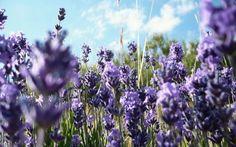 Lavanda: fioritura, potatura e altri consigli sul fiore di Provenza