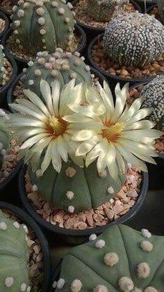 Flor de cactus                                                                                                                                                      Más