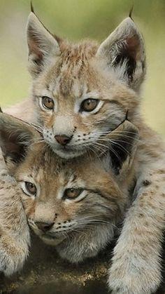 Cute wild cats