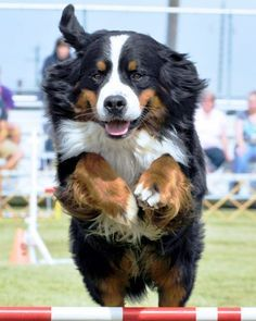 Clever #Bernese won the game. See the smile on its lovely face.