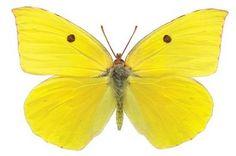 Google Image Result for http://4.bp.blogspot.com/_TSp75CDEjxU/SRduXImGIqI/AAAAAAAABLk/qrjM1pKwLh4/s400/dogfacebutterfly_female.jpg