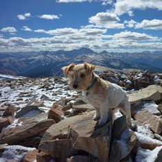 Scooter's first time on the summit of Mount Sopris! Pumped he got to climb the peak we stare at every day! A big effort for my little guy even though I carried him some of the way (scree and itty bitty legs don't work so well). The summit was snowy with a brutal cold wind but the views of the freshly coated Elk Mountains ringed by golden aspens were sublime. Pretty sure if you asked Scooter what the highlights were he'd tell you marmots pika and a stoat we saw on the way up. The stoat was…