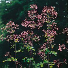 Thalictrum delavayi - Chinese Meadow Rue - dappled/semi-shade or sun