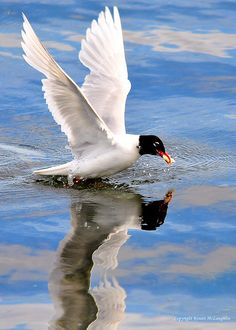 """The Mediterranean Gull, Ichthyaetus melanocephalus, is a small gull which breeds almost entirely in the Western Palearctic, mainly in the south east, especially around the Black Sea, and in central Turkey. There are colonies elsewhere in southern Europe, and this species has undergone a dramatic range expansion in recent decades. Birders often abbreviate its name to """"Med Gull""""."""