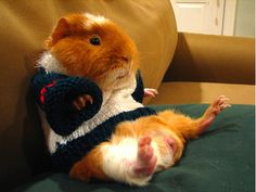 This guinea pig represents laziness for all of us! Guinea Pig Costumes, Pet Costumes, Cute Baby Animals, Funny Animals, Guniea Pig, Baby Guinea Pigs, Pet Fashion, Fall Fashion, Animal Pictures
