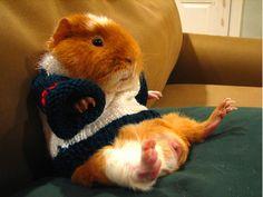 Guinea Pig in a Sweater