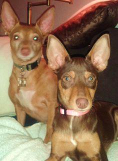 My podenco's Binky & Evy ❤️