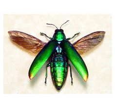 Green Flying Rainbow Jewell Beetle Real by REALBUTTERFLYGIFTS, $49.99