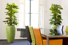 Using the same plant and planter gives a sense of unity and order to an environment - Philodendron Pertusum here works very well - some retro feel to the room