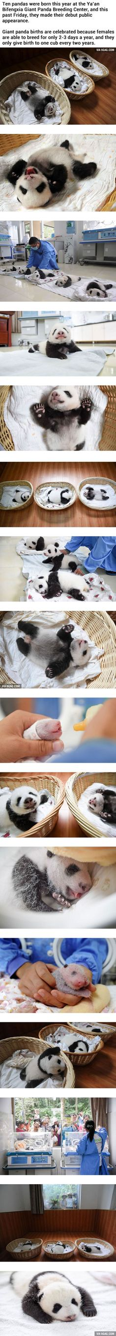 Newborn Panda Babies Say Their First Hello At Chinese Panda Breeding Center - 9GAG