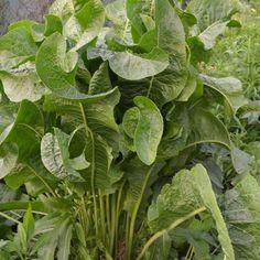 Harvesting Horseradish | Capper's Farmer