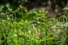 Young Ferns and cow parsley in Becton Wood #Becton Wood #Norfolk #bokeh #cow parsley #family holiday #ferns #spring #photo #photography #fliiby #images #yyazilim #people #nature