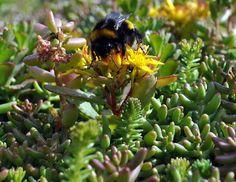 A world saving bee on our sedum