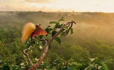 O sol nascente ilumina o cortejo de uma Paradisaea apoda na ilha Wokam, ao sul da Nova Guiné. Os machos removem as folhas dos galhos no topo a fim de abrir espaço para os rituais de acasalamento.