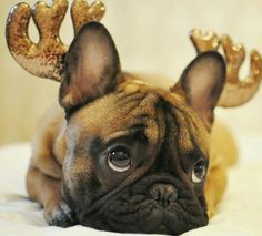 """Really?""... ""Bedazzled Antlers?"", funny French Bulldog"