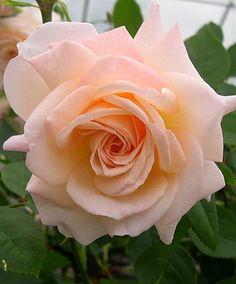 Beautiful Rose Flowers, Pretty Roses, All Flowers, Amazing Flowers, Orange Roses, Pink Roses, Most Popular Flowers, Heirloom Roses, Rosa Rose