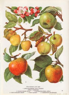 Fruit Print, Vintage Kitchen Decor, Botanical Apple Illustration, Art Print