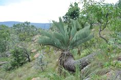 Eugene Maraisii in habitat Living Fossil, Hardy Plants, Planting Succulents, Botanical Gardens, Houseplants, Habitats, South Africa, Flora, Home And Garden