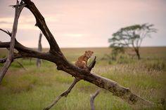 Lion Cub at Sunset-Serengeti / May