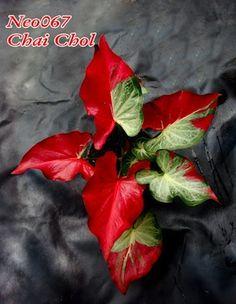 tinhorao  http://www.plantasquecuram.com.br/ervas/tinhorao.html#.VZFwD1KYH2Q