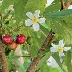 Strawberry Tree (Muntingia calabura) - Tropical Fruiting Plants - Fruits