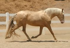 """Cream + Pearl: Pearl (Barlink, Apricot)  A recently discovered horse color, pearl governed by a recessive, """"cream-activated"""" gene. In single doses (heterozygous), it does not manifest itself unless the horse possesses a cream allele (palomino, buckskin, black buckskin), in which case it will act like a second cream allele and cause the horse to appear cremello, perlino, or smokey perlino. When not interacting with the cream gene, pearl only manifests in double-doses (homozygous)."""