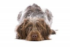 german wire haired pointer  And I thought mine was a hairy mess LOL