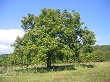 Juglans regia - Wikipedia, the free encyclopedia  ie WALNUTS contain progesterone