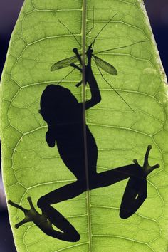 Gotcha! Backlit photo of a frog hunting and catching a cranefly.