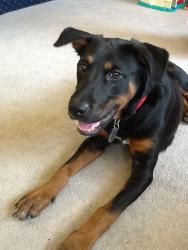 Dylan is an adoptable Rottweiler Dog in Mechanicsburg, PA. Dylan is a very handsome shepherd mix. His coat is silky.  Dylan gets along well with other dogs and likes human companionship the best. H...
