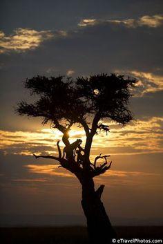 Cheetahs in a tree, Masai Mara, Kenya, Africa, un des plus beaux parcs avec le big five a voir, superbe! love love love