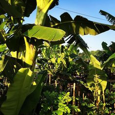 When designing the farm @thepflaum decided to keep all the traditional banana trees and build up the farm just around these authentic plants harvesting bananas is fun for us and for the goats since the just llooovveee bananas #bananas #fruit #yummy #instafood #realfood #goodearthfarm #permaculture #farm #organic #bali #ubud #growingfood #balipermaculture #gardening #garden #planting #harvest #groworganic #farmtotable #community #health #farmlife #smallfarmers #smallfarms