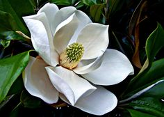 I want a Southern Magnolia tree in my yard someday!