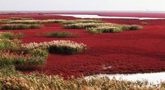 Red Beach in Panjin, China  Panjin Red Beach in China is not covered in sand at all. The redness is caused by a type of sea weed, Sueda. It starts growing during April and May, then stays green during the summer, but starts turning vividly red in autumn.