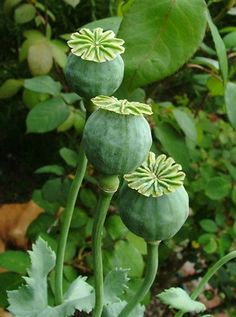 Poppy pods - growing ornamental seed hears and plants for crafting