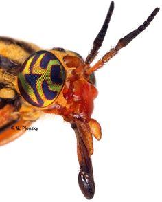 M. Plonsky -deer fly