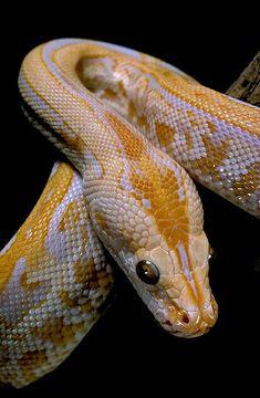 Python molurus bivittatus f. labyrinthe albinos