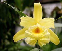 Sobralia xantholeuca 0501 | Grown by Cynthia Hill | Flickr