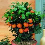 Dwarf Citrus seems like a fun idea.