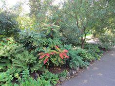 Mahonia japonica in September 2011, Kew Gardens, London.