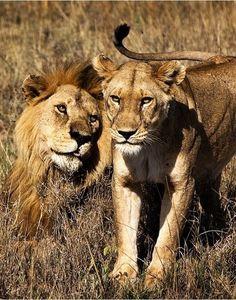funkysafari: Lions in the Serengeti,...