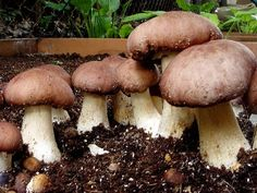 How To Grow Wine Cap Mushrooms King Stropharia Rugosoannulata In A Raised Bed (Pt.1) - YouTube