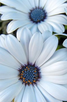 Sky Daisies = African White Daisy